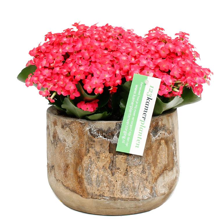 Voeding voor Kalanchoe roze in pot