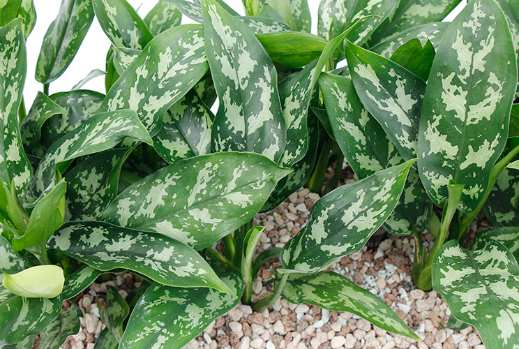 Aglaonema plantjes