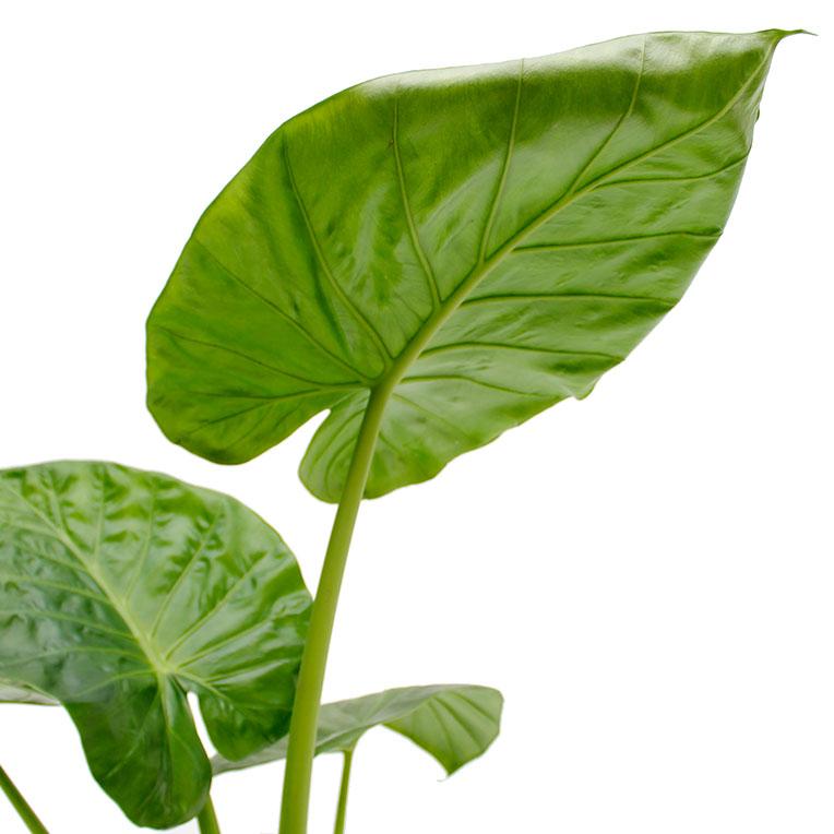Alocasia blad