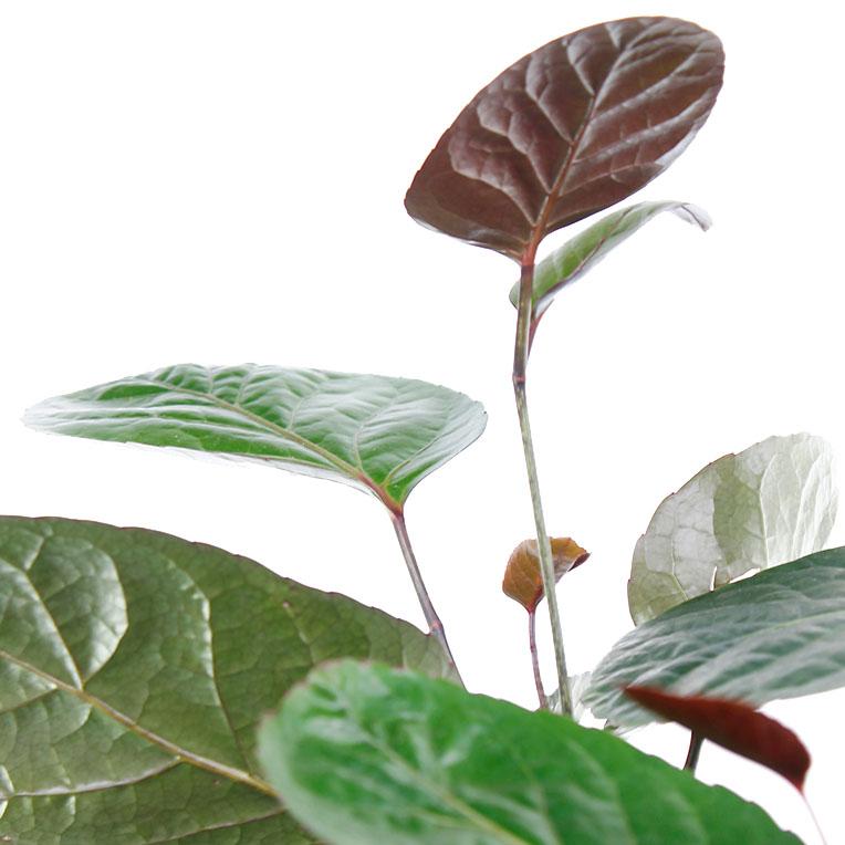 Aralia blad
