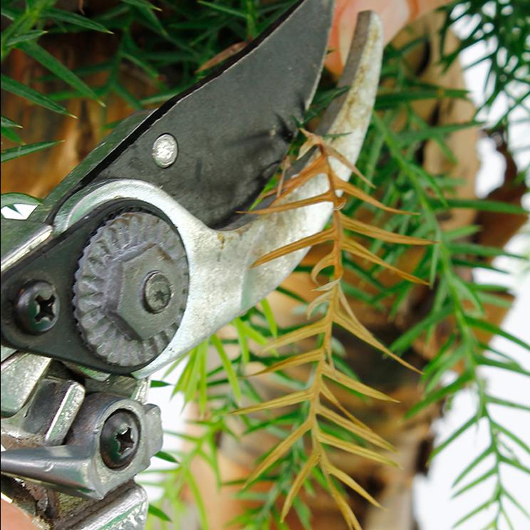 Araucaria verkleurd blad wegknippen