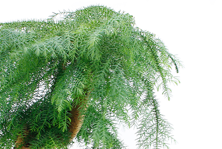 Araucaria kamerplant