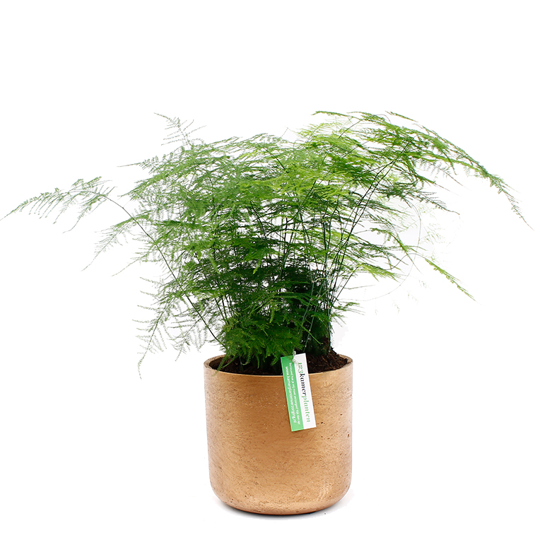 Asparagus in pot