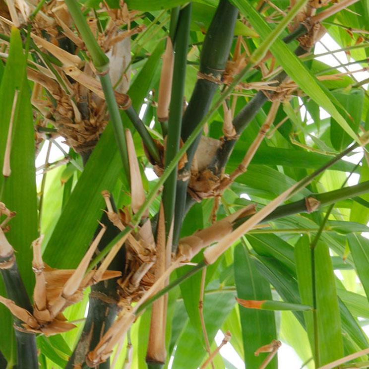 Bamboe stam