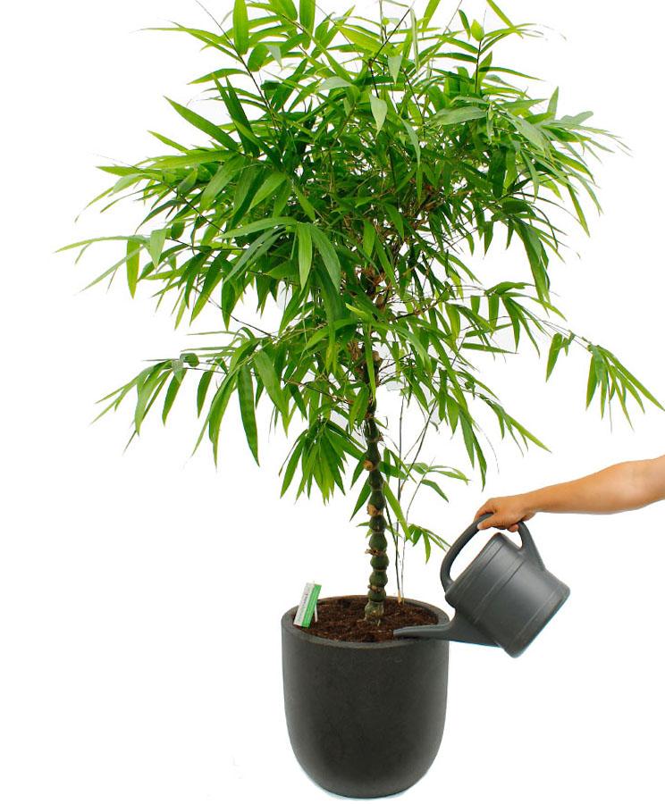 Bamboe water geven