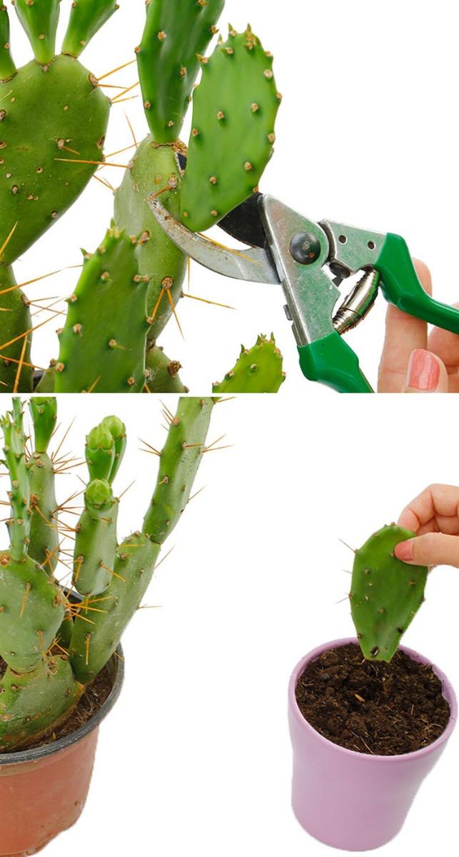 cactus snoeien en vermeerderen