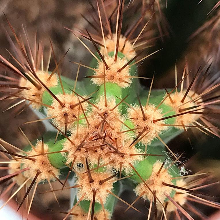 cactus stekels