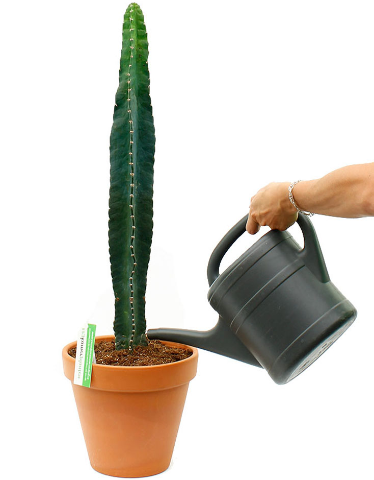 cactus water geven