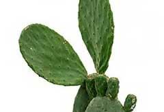 Cactus Opuntia