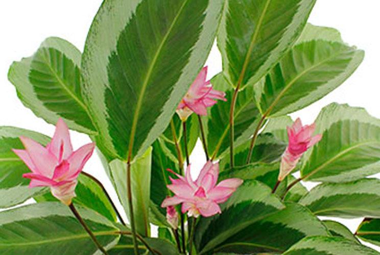 Calathea in bloei
