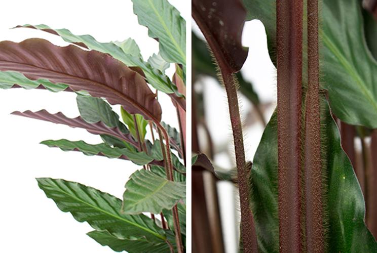 Calathea stengel en blad