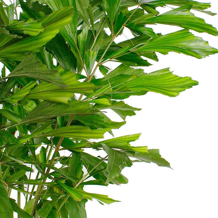 Caryota Mitis bladeren