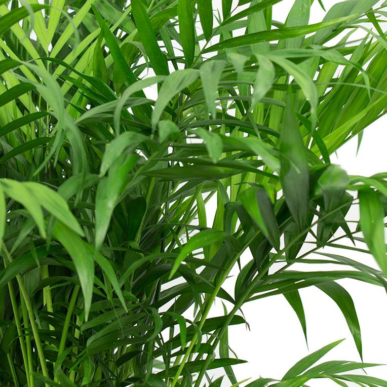 Chamaedorea bladeren