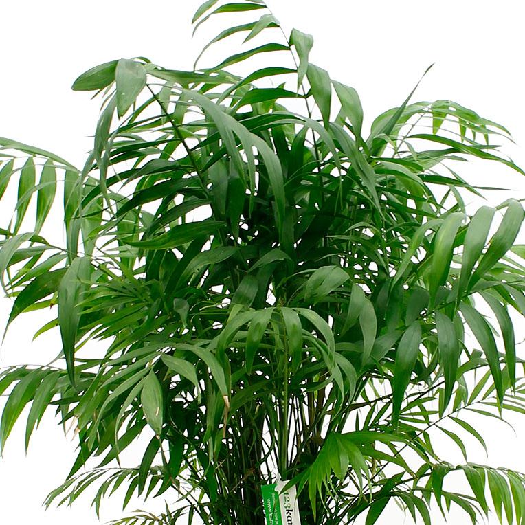 Chamaedorea jong blad