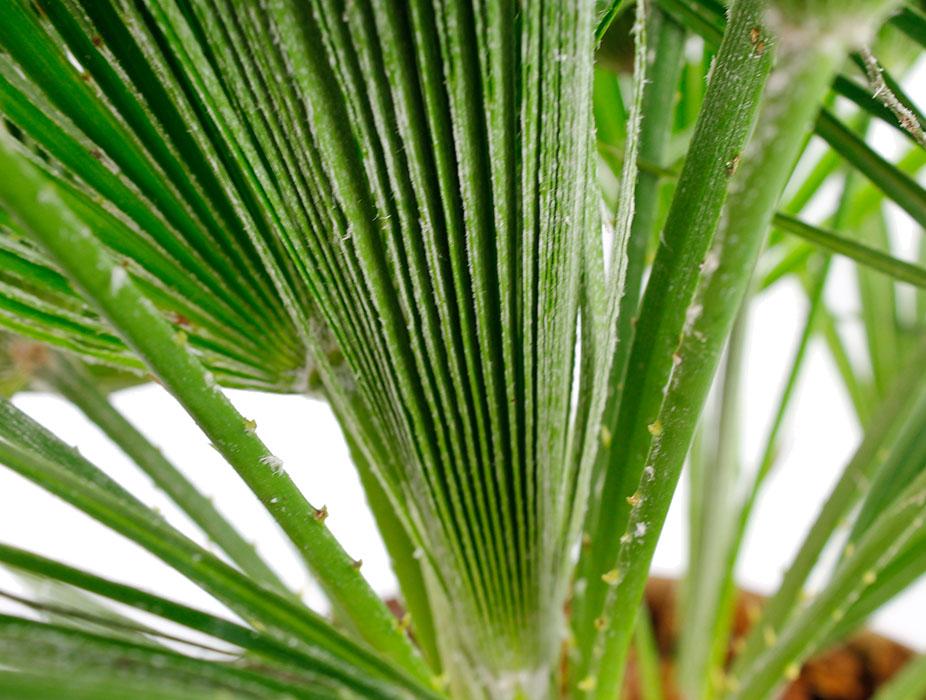 Chamaerops Humilis nieuw blad