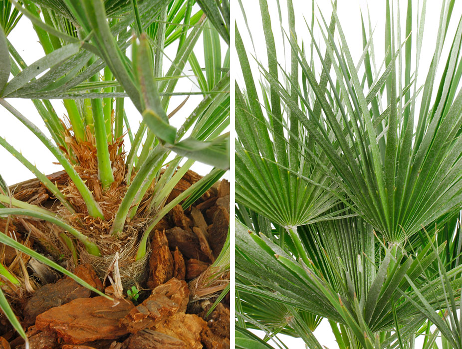 Chamaerops Humilis palm stam en blad