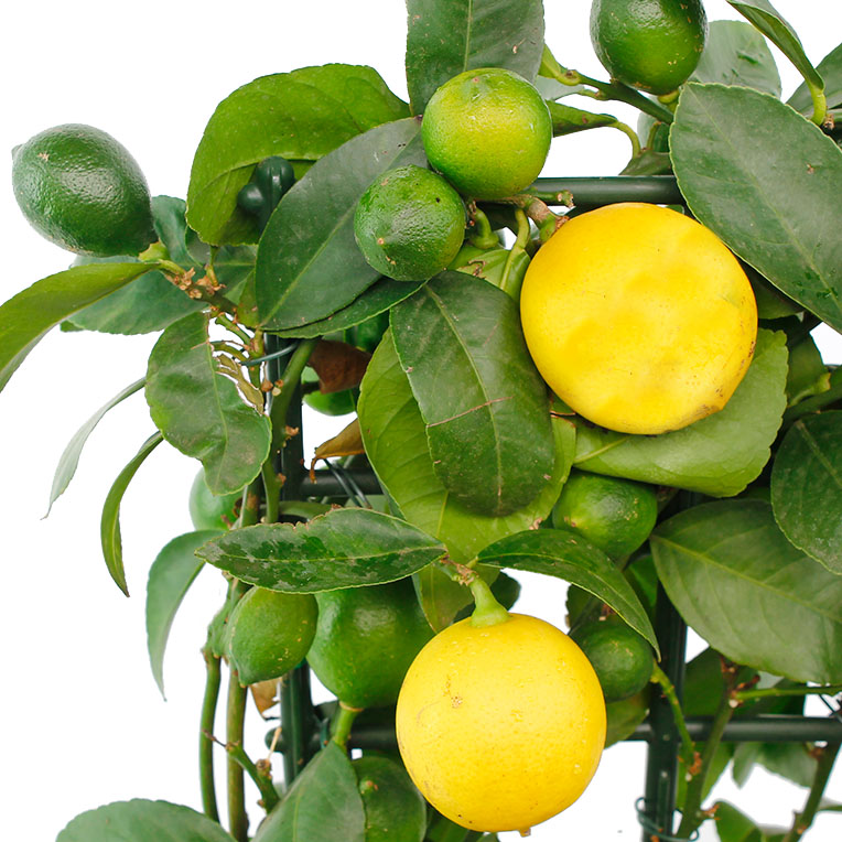 Citrus Verzorging