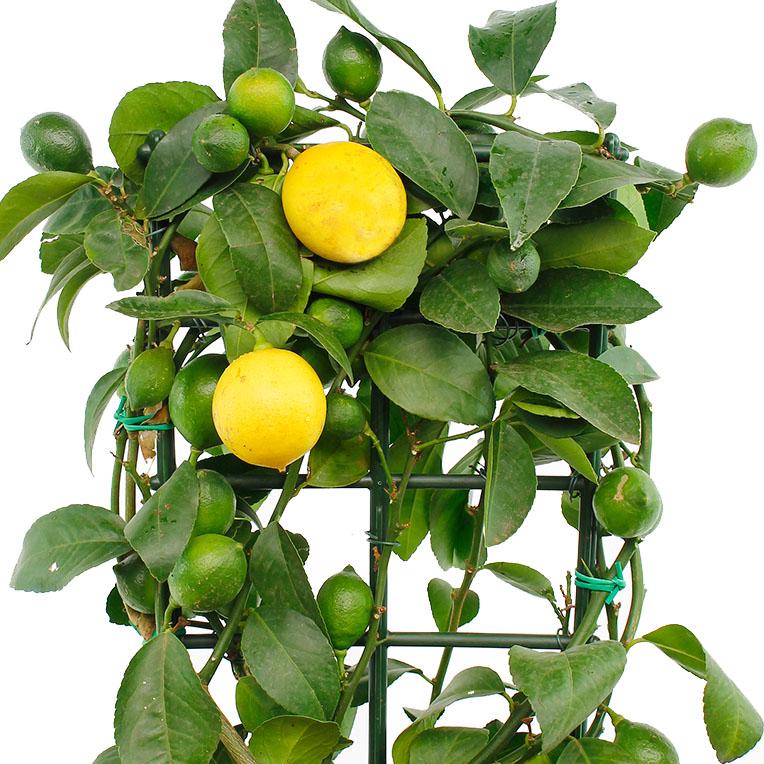 Citrus gele vruchten