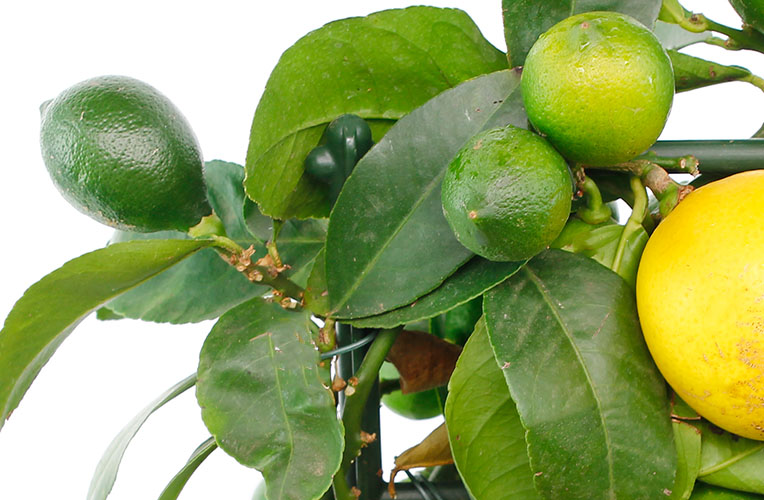 Citrus onrijpe vrucht