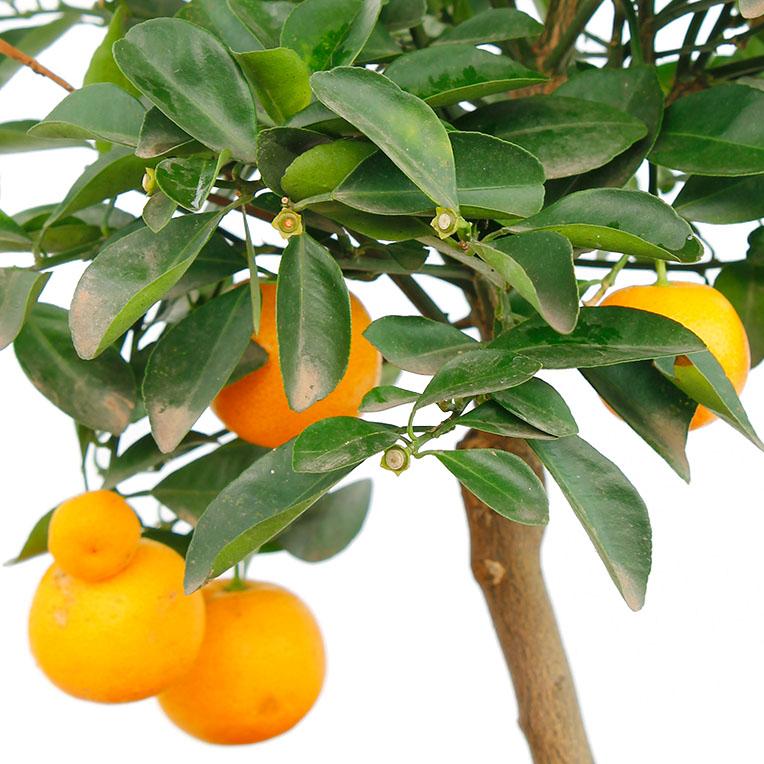 Citrus oranje vruchten
