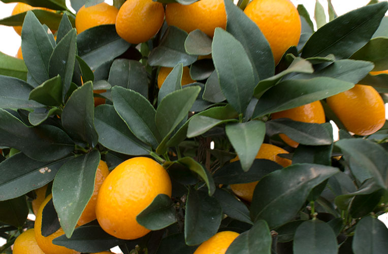 Citrus verpotten