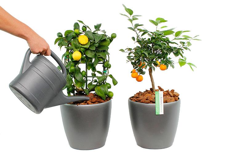Citrus water geven