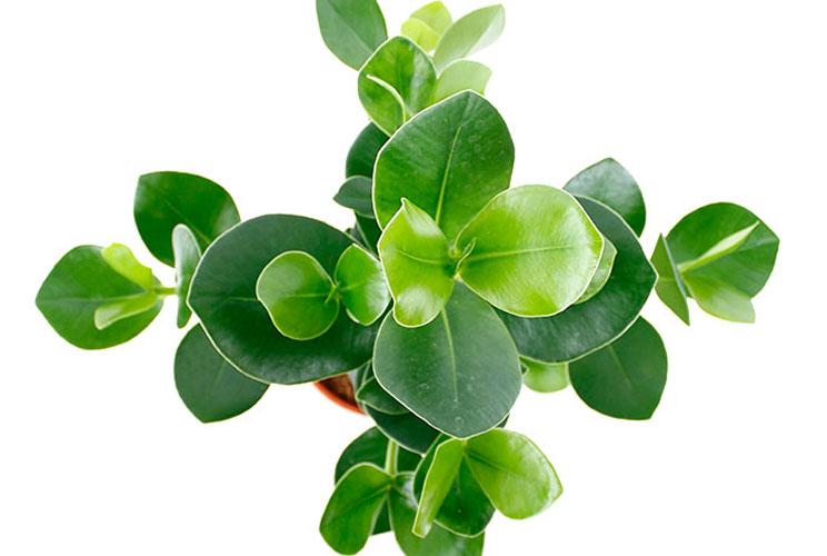 Clusia licht groen blad