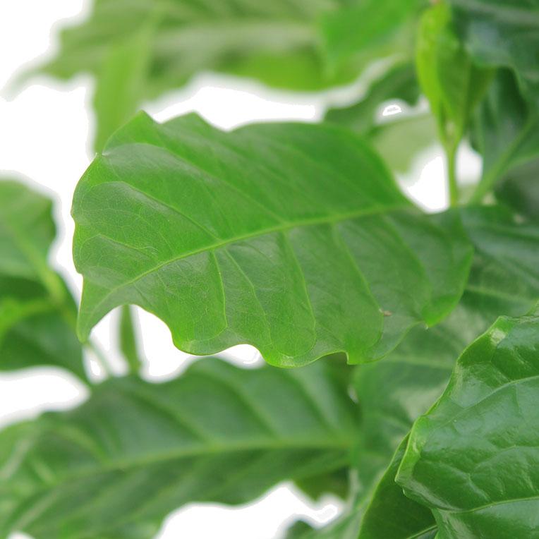 Coffea Arabica blad