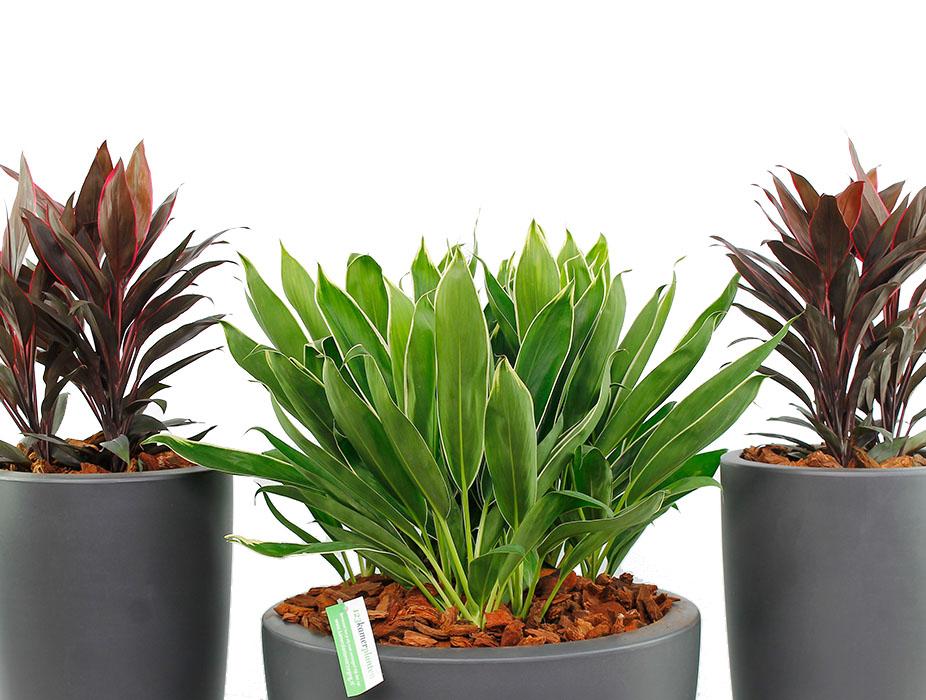 Cordyline verschillende soorten in pot