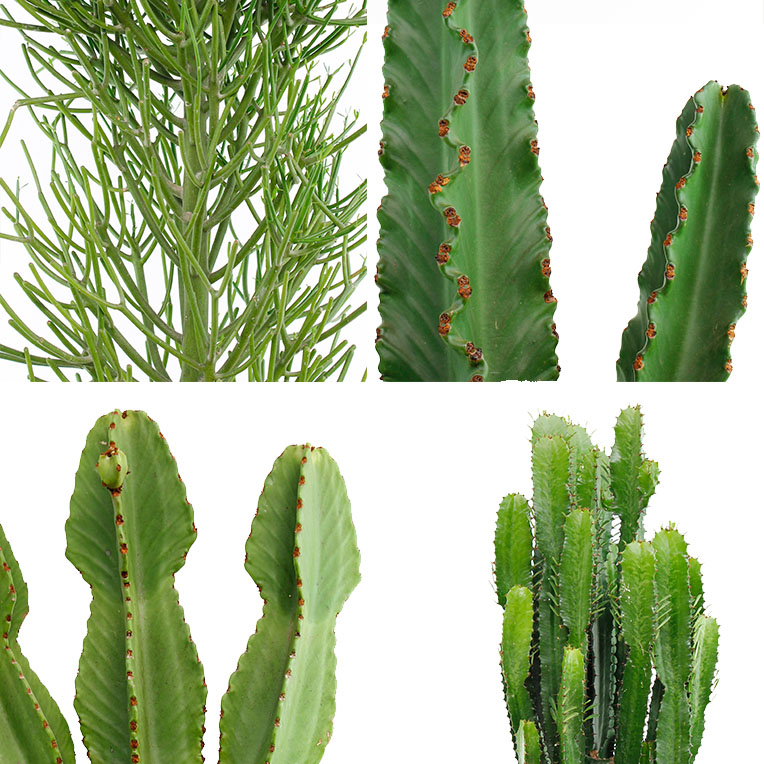 Euphorbia verzorging tips