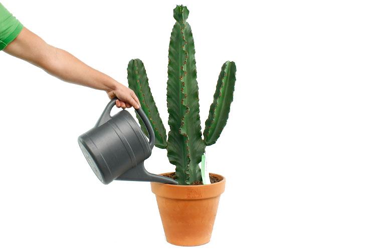 Euphorbia  water geven