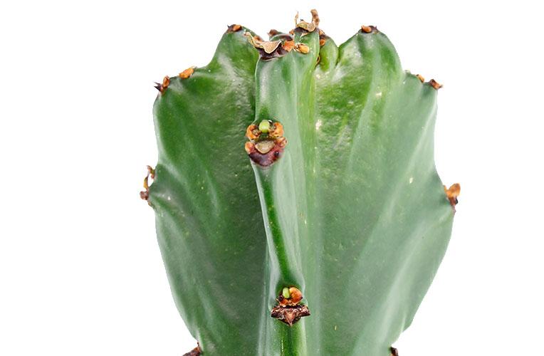 Euphorbia  uitloper