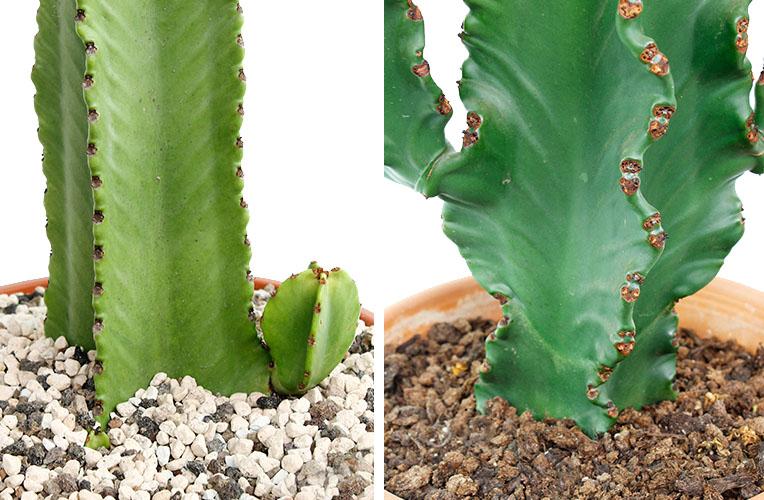 Euphorbia in vulcastrat of grond