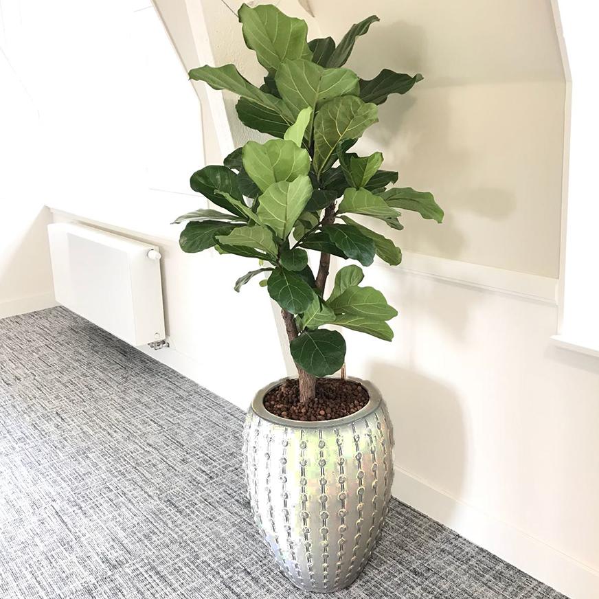 Ficus Lyrata half schaduw plant