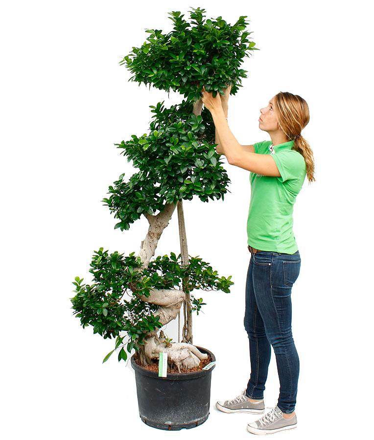Ficus Verzorging Tips Informatie 123planten Nl