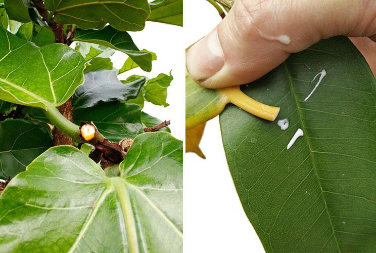Ficus snoeien