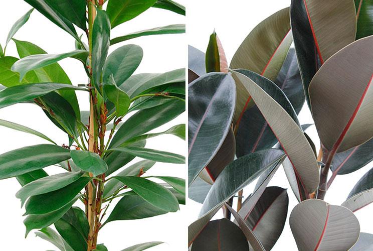 Ficus bladeren