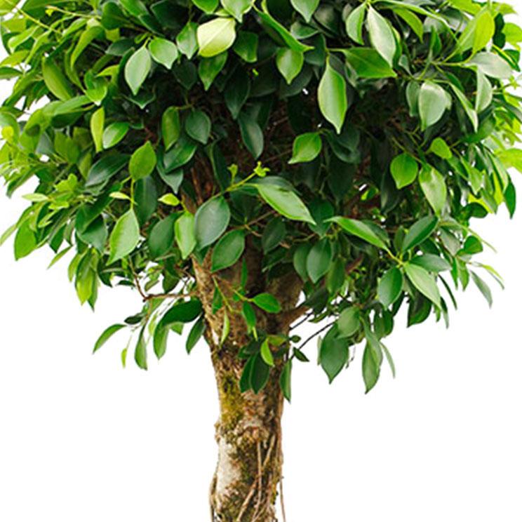 Ficus bodem vochtig