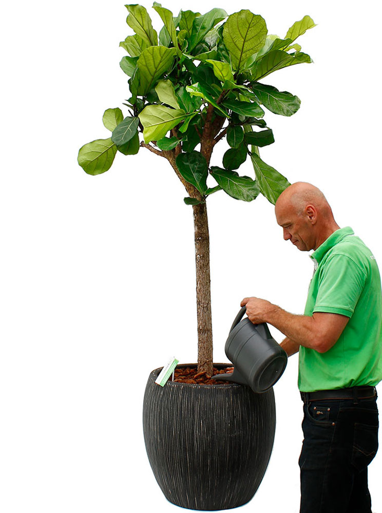 Ficus water geven