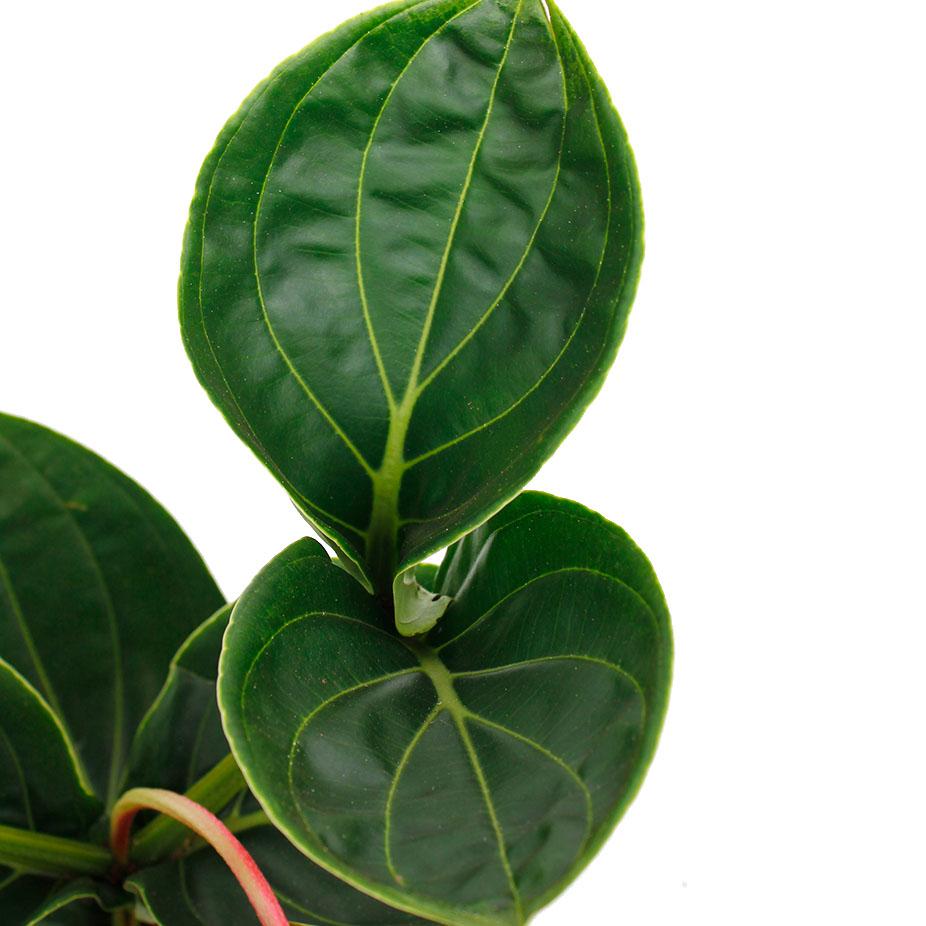 Groen blad Medinilla