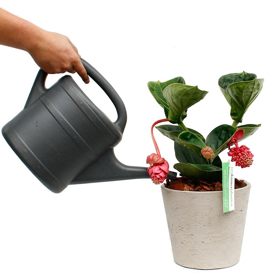 Medinilla water geven