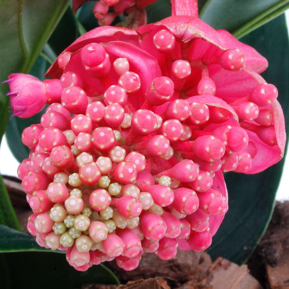 Roze bloem Medinilla