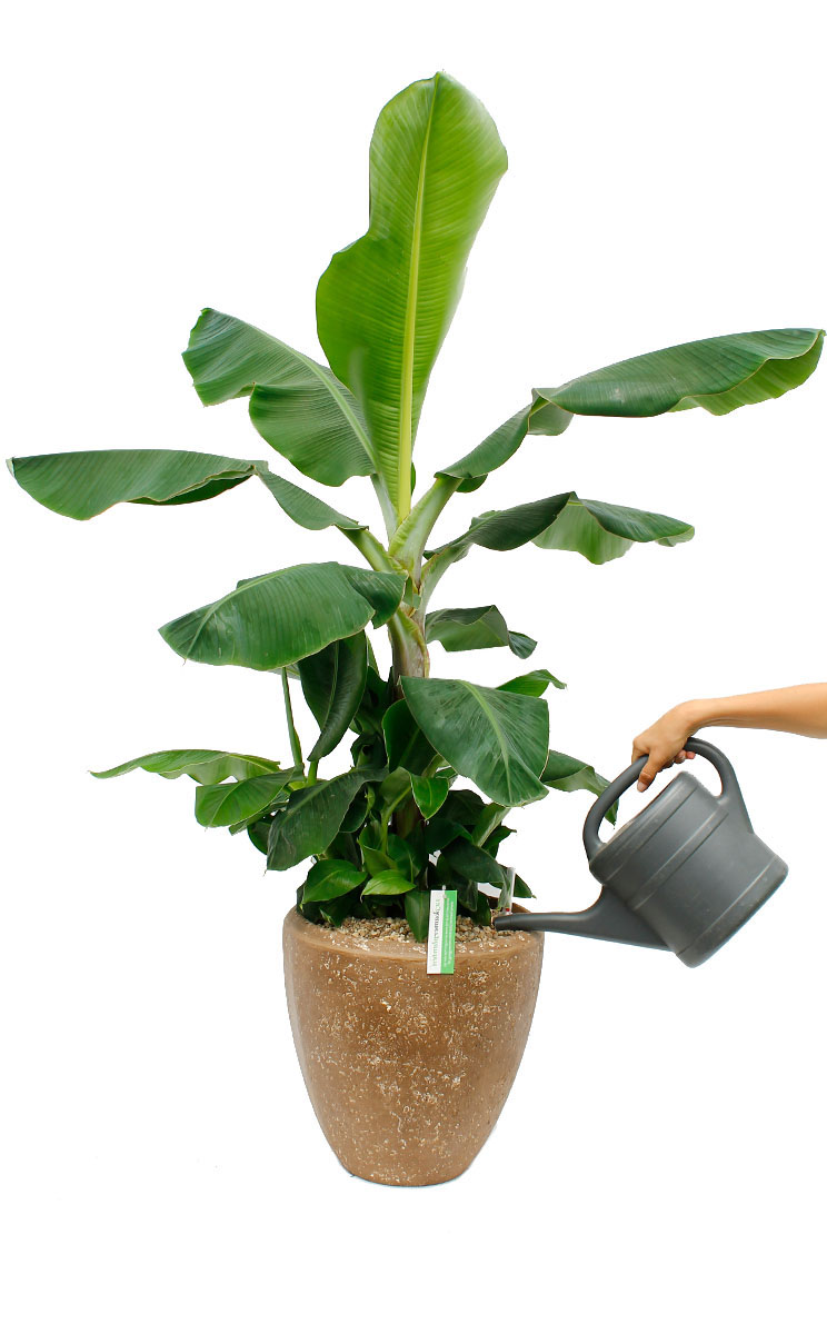 Musa bananenplant water geven