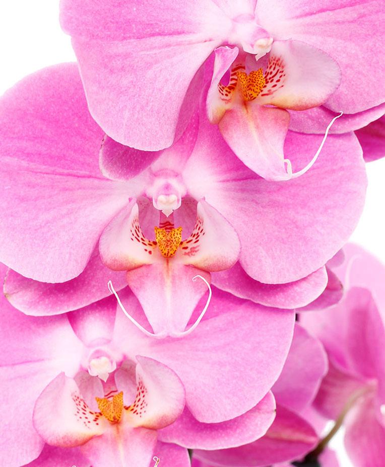 Roze Orchidee bloem