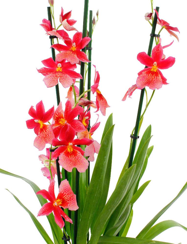 Rode Orchidee met blad