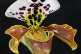 Orchidee Paphiopedilum