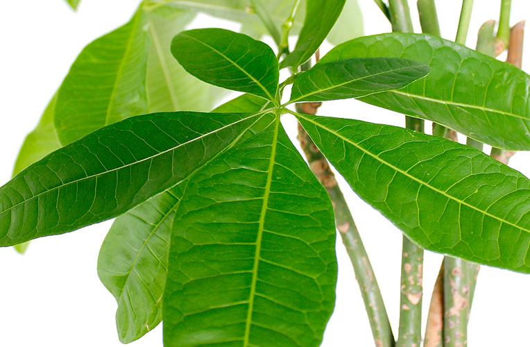 Pachira blad