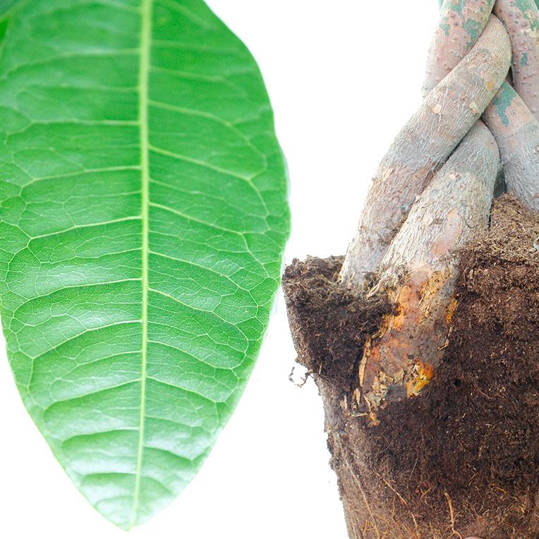 Pachira blad en stam