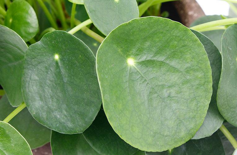 Pannenkoekenplant blad
