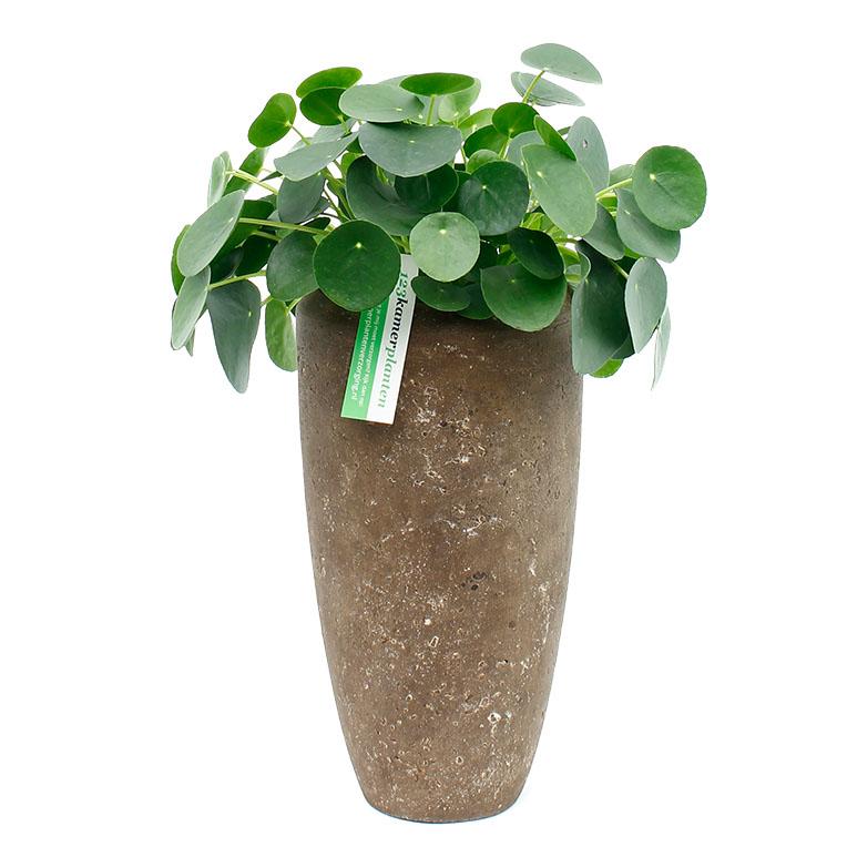 Pannenkoekenplant in pot
